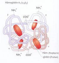 Abb. 1: Hämoglobin A